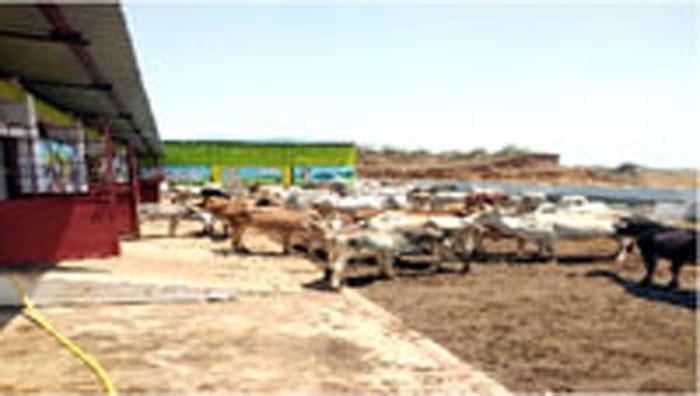 झोझी गांव की गौशाला में सौ से अधिक गौ वंशों को मिला आसरा